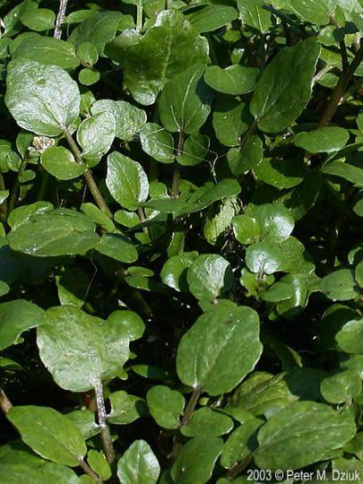 rorippa-nasturtium-aquaticum-10